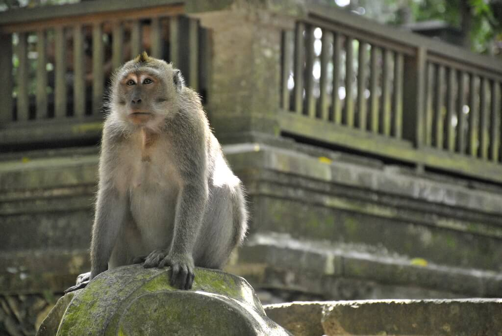 Macaco desafiante en Monkey Forest