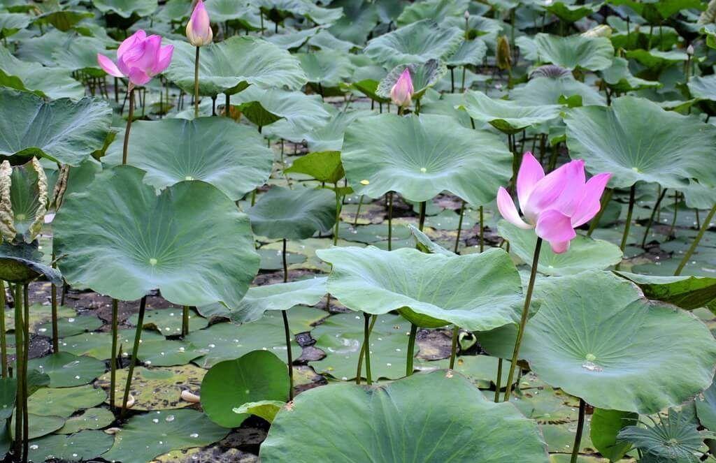 café lotus Bali