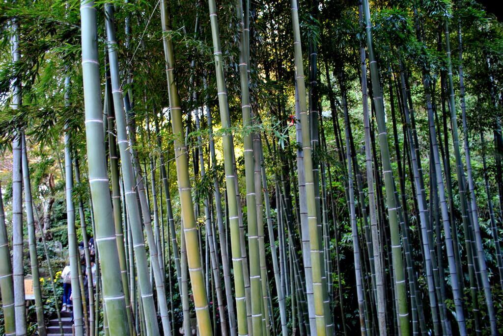 Jardín de bambú en el templo Hase-Dera