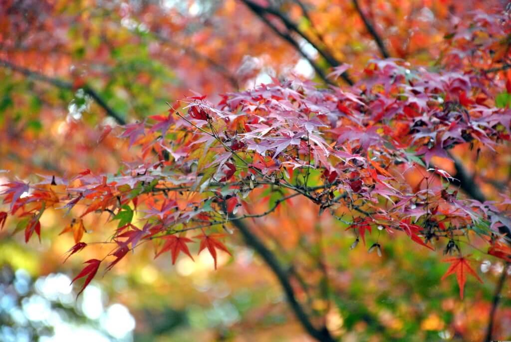 Momiji, oeste de Kioto