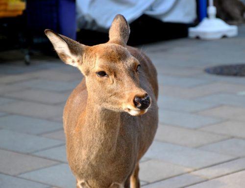 Qué se puede ver en Nara en un día
