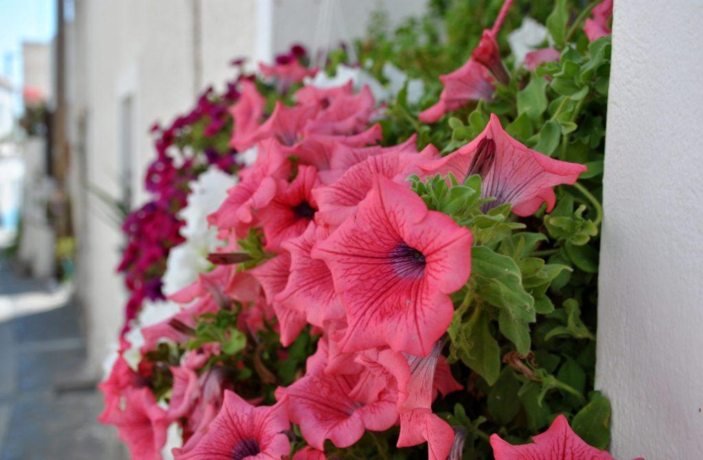 Flores en Trypiti, Milos
