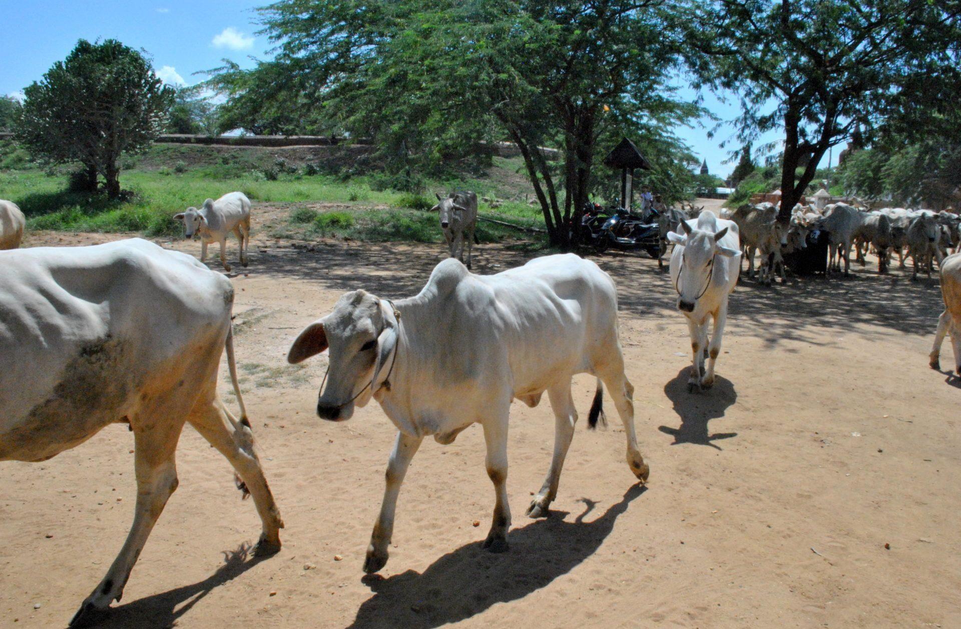 Vacas del poblado
