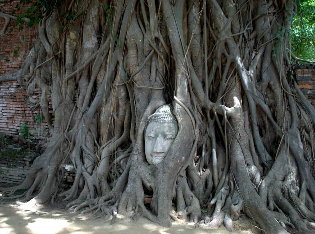 Cabeza de Buda enredada entre la raíz del árbol